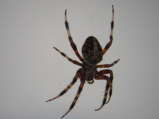 The spider I should charge rent for living in my front door.